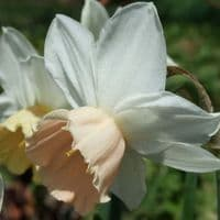 Ready Potted 1 Litre Pot   PASSIONALE LARGE CUPPED (WHITE)DAFFODIL